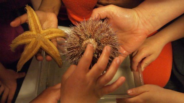 barnehender tar på kråkebolle