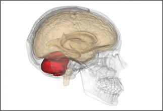 Profiltegning av hodeskalle med hjernen og lillehjernen
