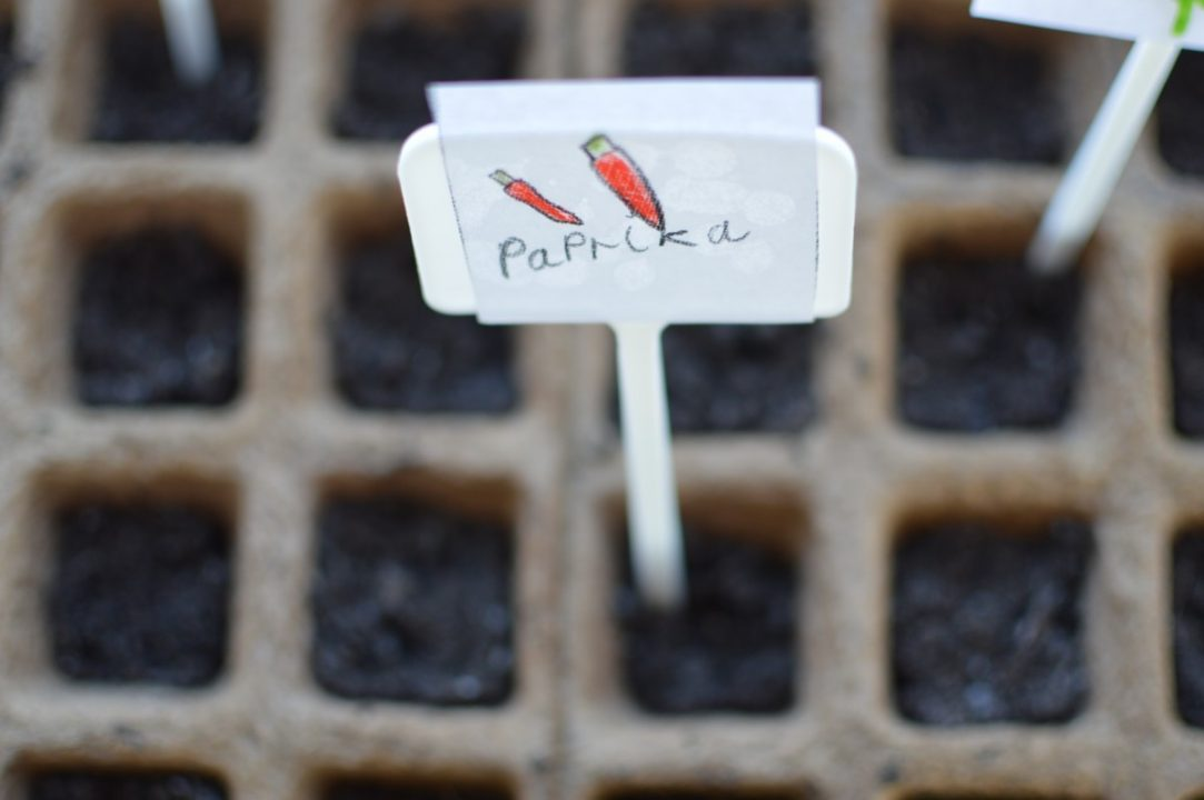 Tegning av paprika som står i blomsterjord.
