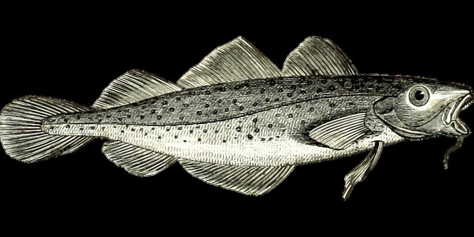 Tegning av torsk.